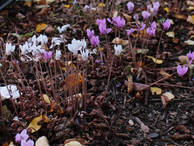 cyclamen hederifolium seed pods
