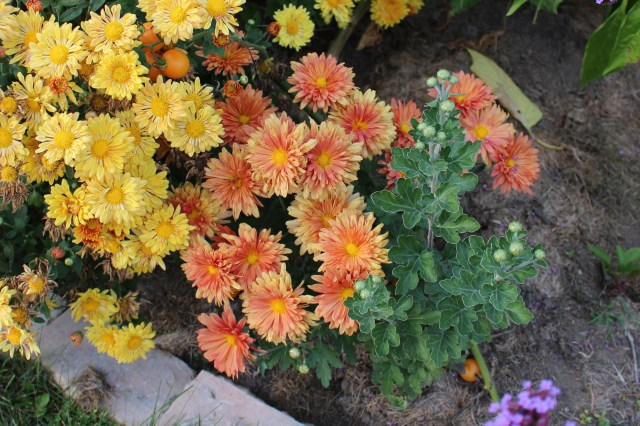 chrysanthemum from seed