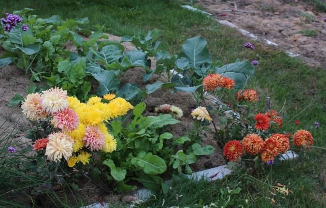 football chrysanthemums