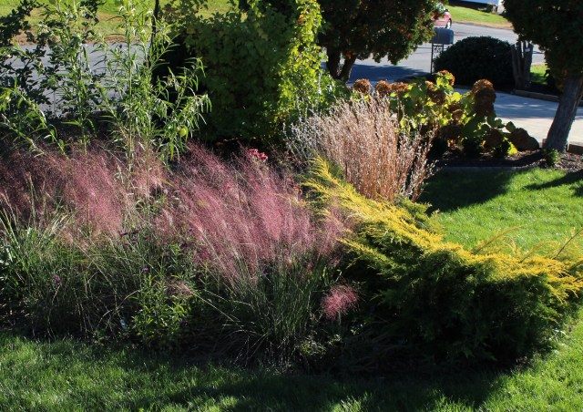 Muhlenbergia capillaris pink backlight