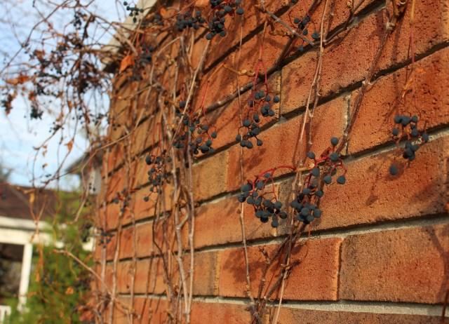 Parthenocissus quinquefolia berries Virginia creeper