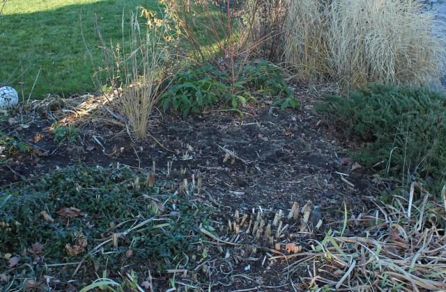 removing invasive burning bush