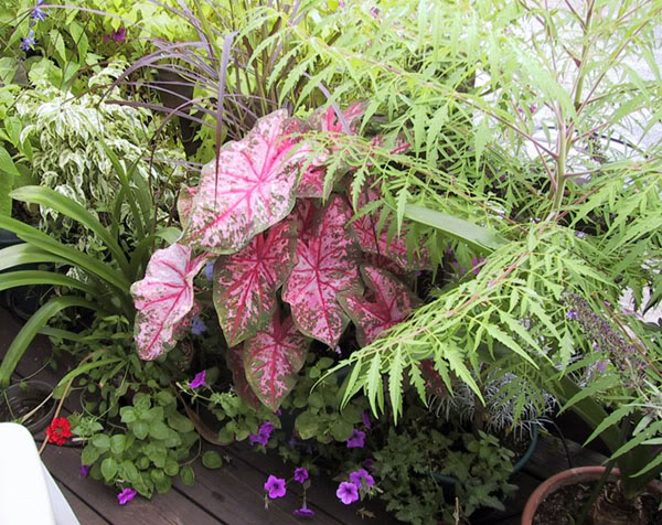 pink caladium tropical plants
