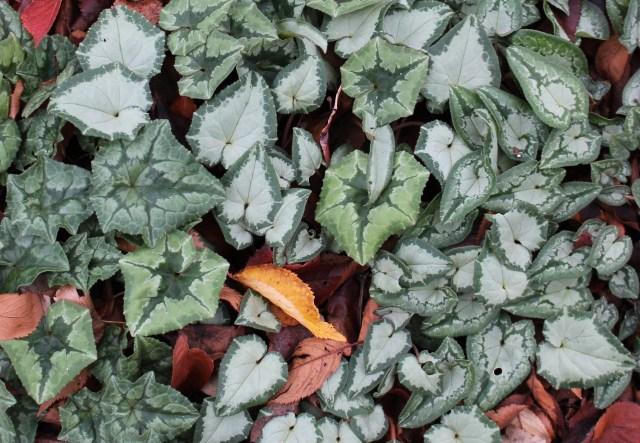 hardy cyclamen hederifolium foliage
