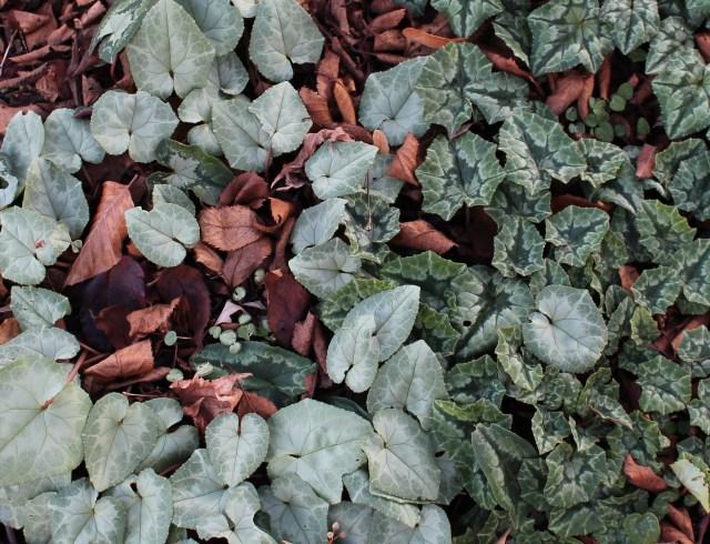 hardy cyclamen hederifolium silver foliage