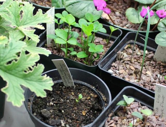 hellebore niger seedling