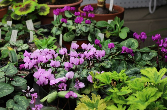 cyclamen coum indoors
