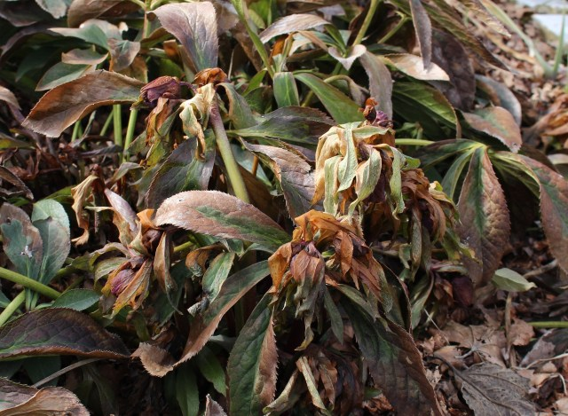 freeze damage hellebore