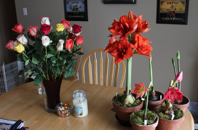 double amaryllis red peacock