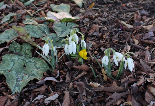 snowdrops and eranthis aconite