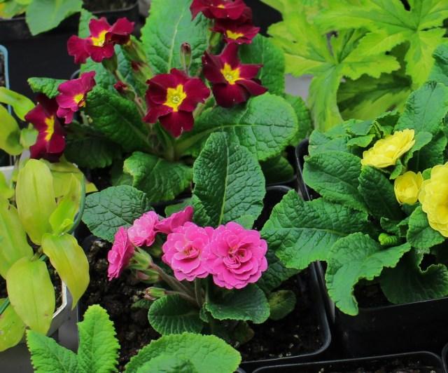primrose belarina pink tartan red