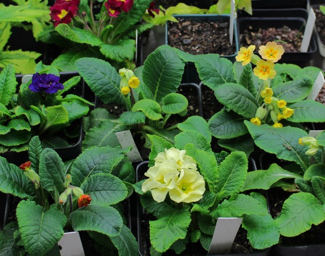 primrose from seed