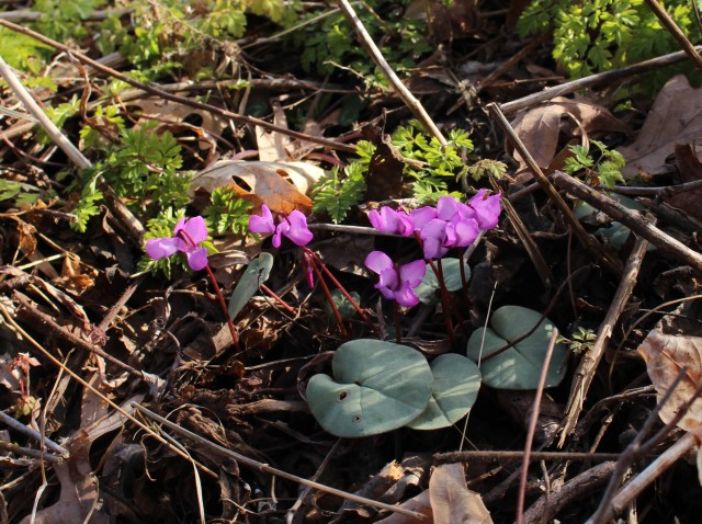 cyclamen coum upstate ny