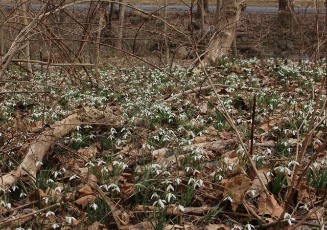 naturalized snowdrops united states