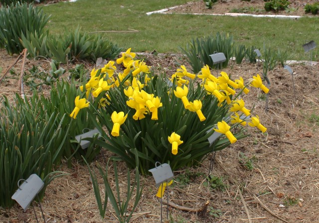 daffodil narcissus rapture