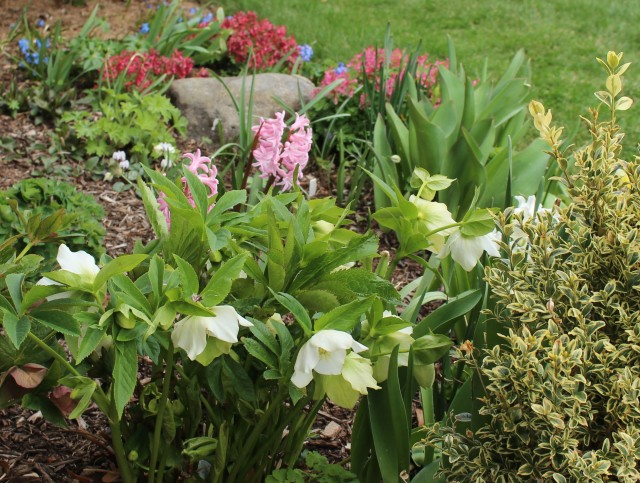 corydalis and hellebores
