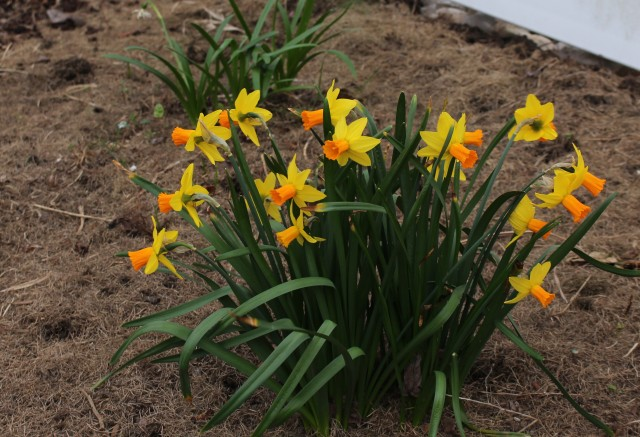 daffodil narcissus jetstar