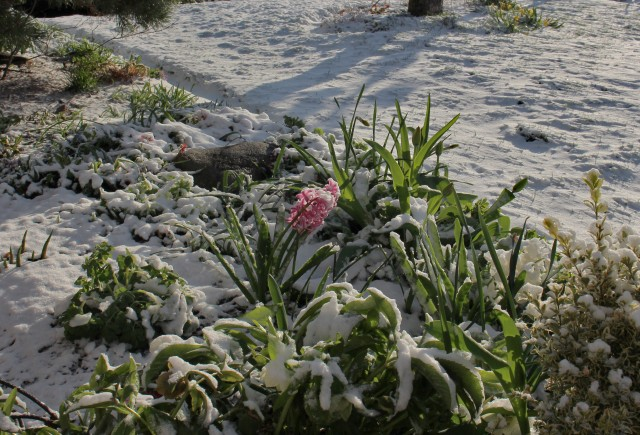 frozen hyacinth