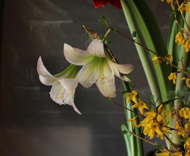 amaryllis trentino