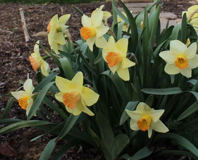 narcissus daffodil stepchild