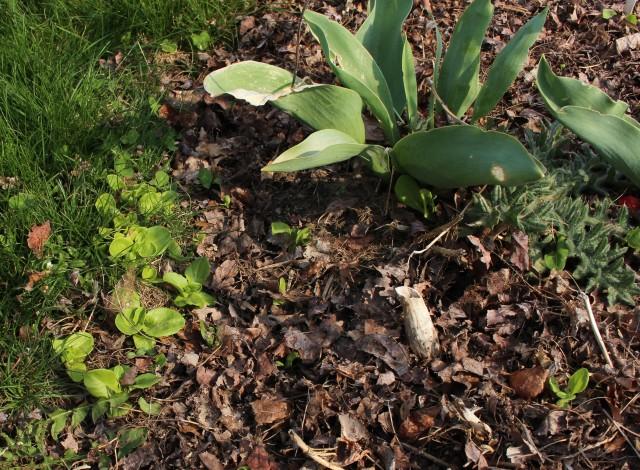 lettuce self sown seedlings