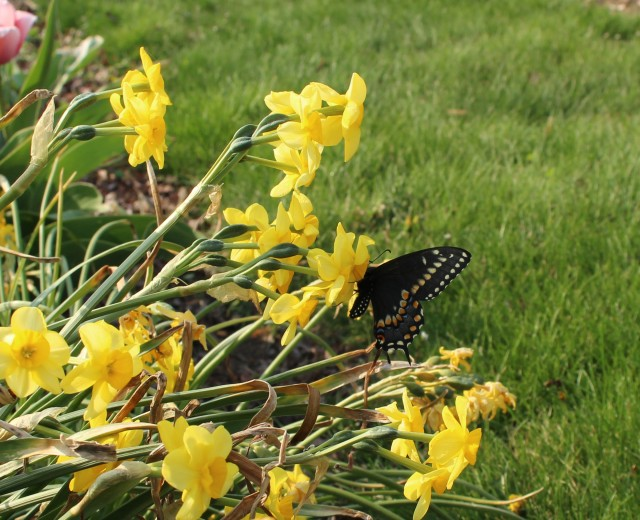 butterfly on daffodil black swallowtail
