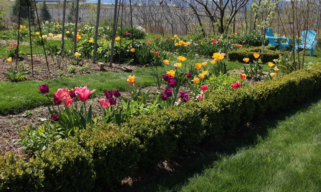tulips in the vegetable garden
