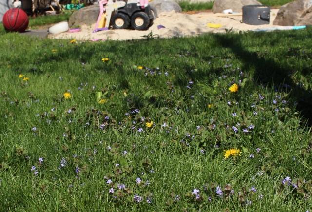 creeping Charlie dandelions
