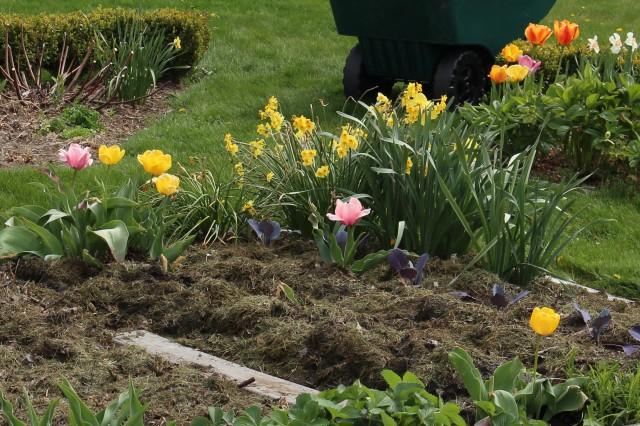 tulips in the vegetable garden