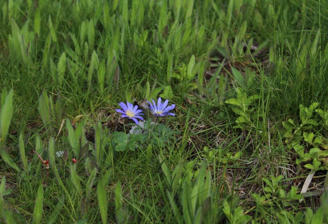 blue anemone blanda