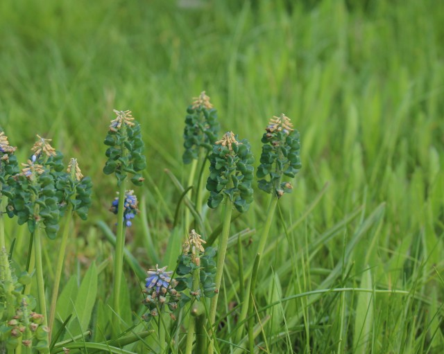 muscari seed pods