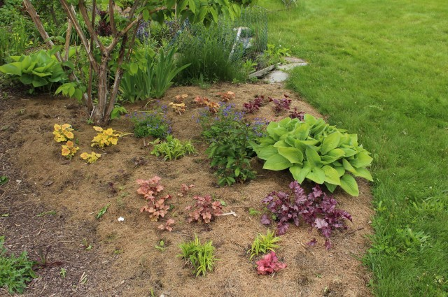 transplant and divide heuchera