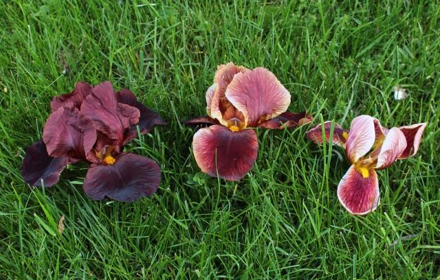 roundup on iris