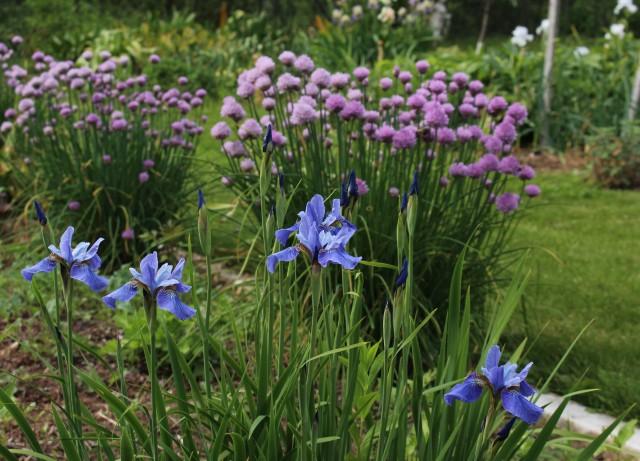 Siberian iris super ego
