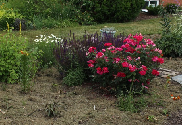 knockout rose with caradonna salvia