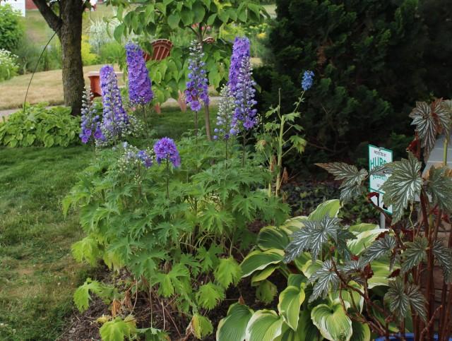purple delphinium