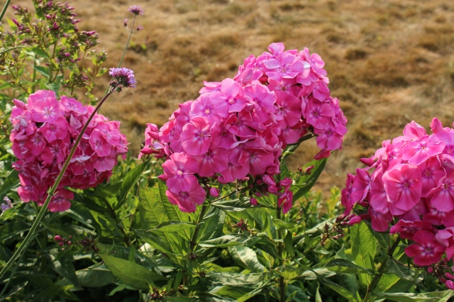 phlox salmon beauty