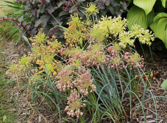 allium flavum ssp tauricum