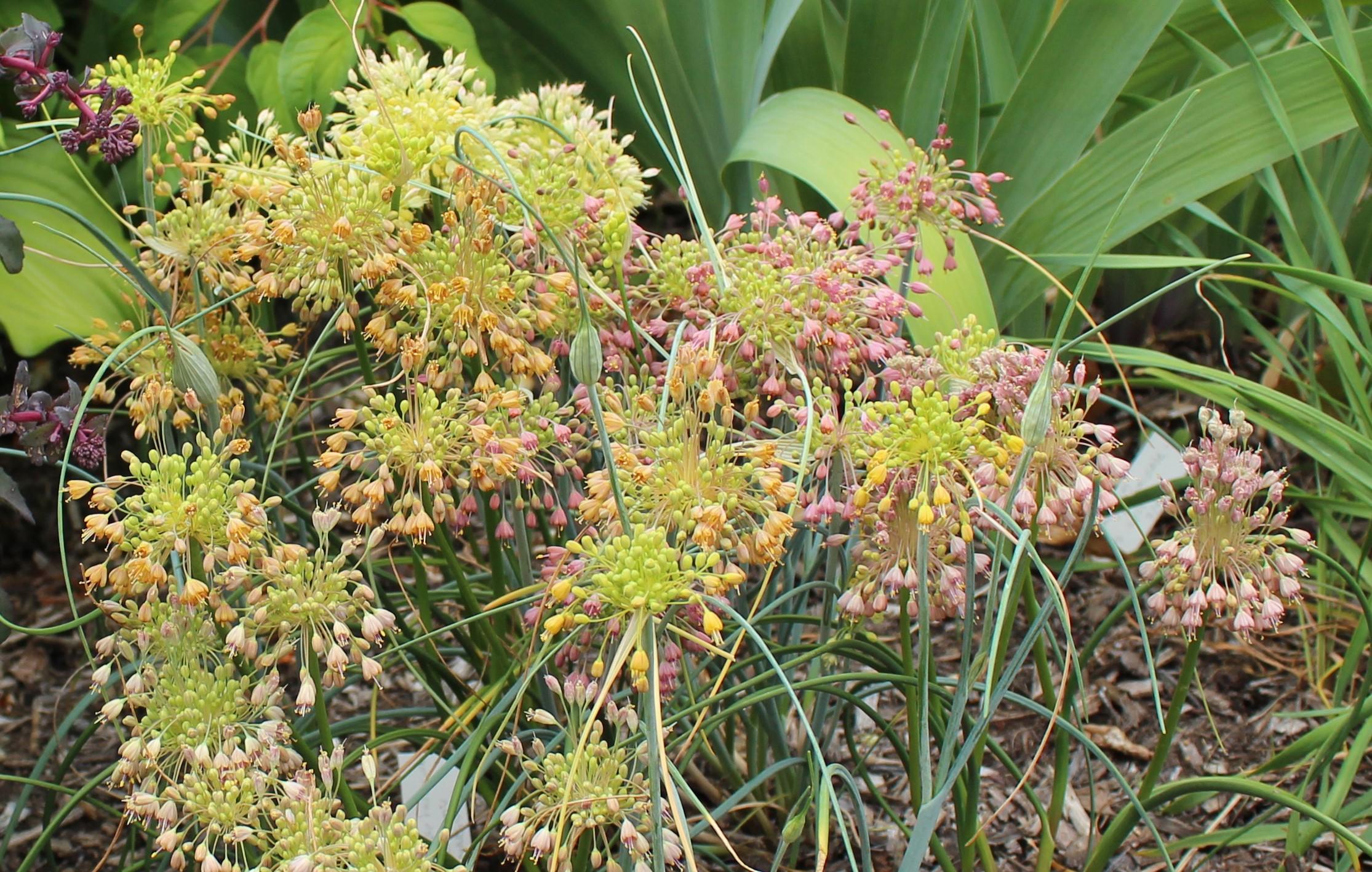 Thursdays Feature Allium Flavum Ssp Tauricum Sorta Like Suburbia