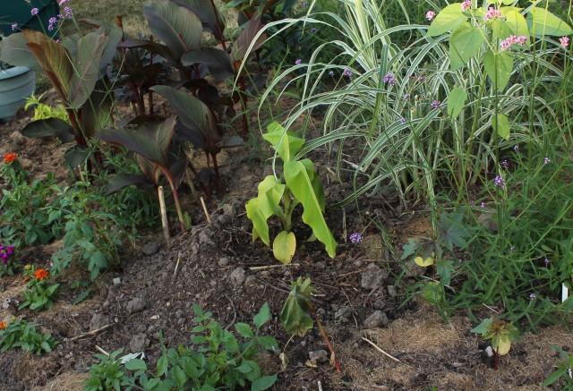 newly planted musa basjoo
