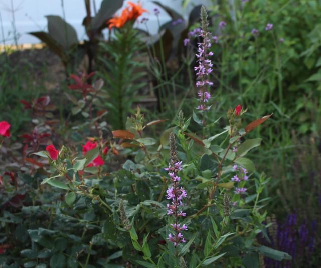 lythrum salicaria purple loosestrife