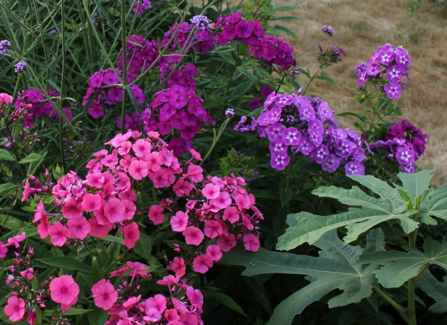 phlox nicky laura