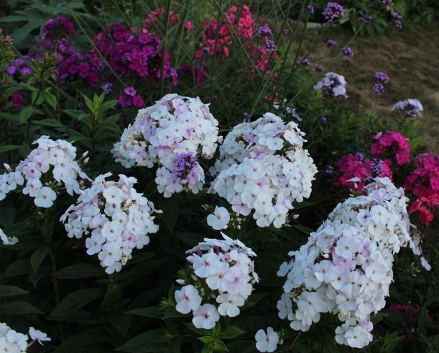 phlox paniculata seedling