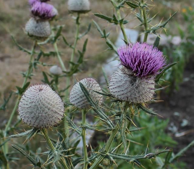 Cirsium eriophorum, wooly thistle