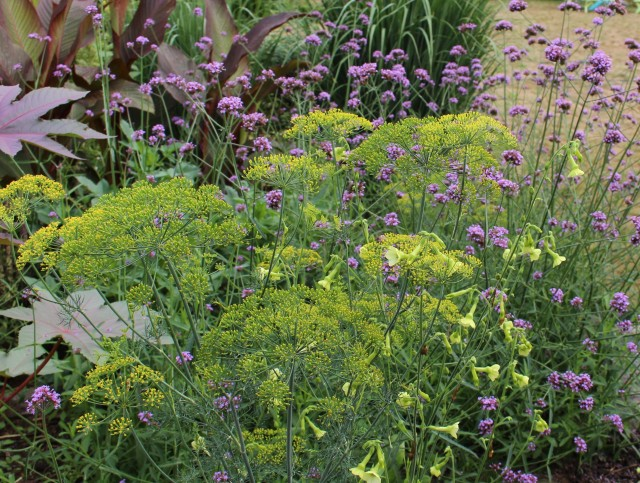 fennel with verbena bonariensis