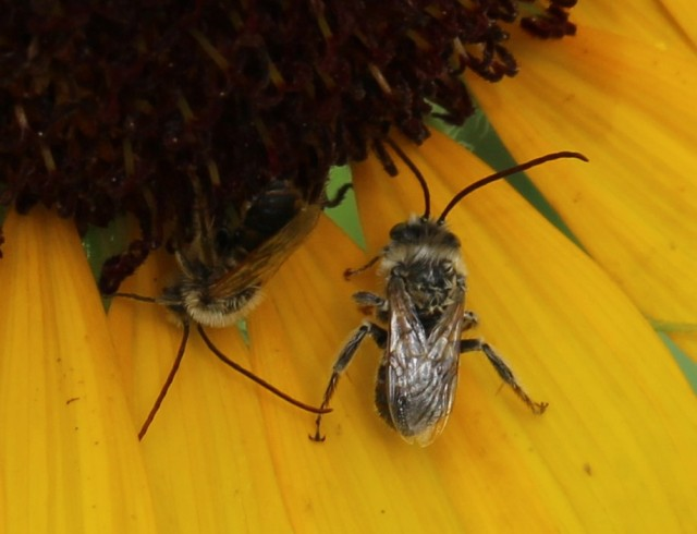 sunflower and long horned bee