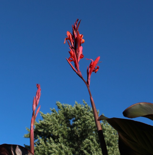canna indica purpurea Russian red
