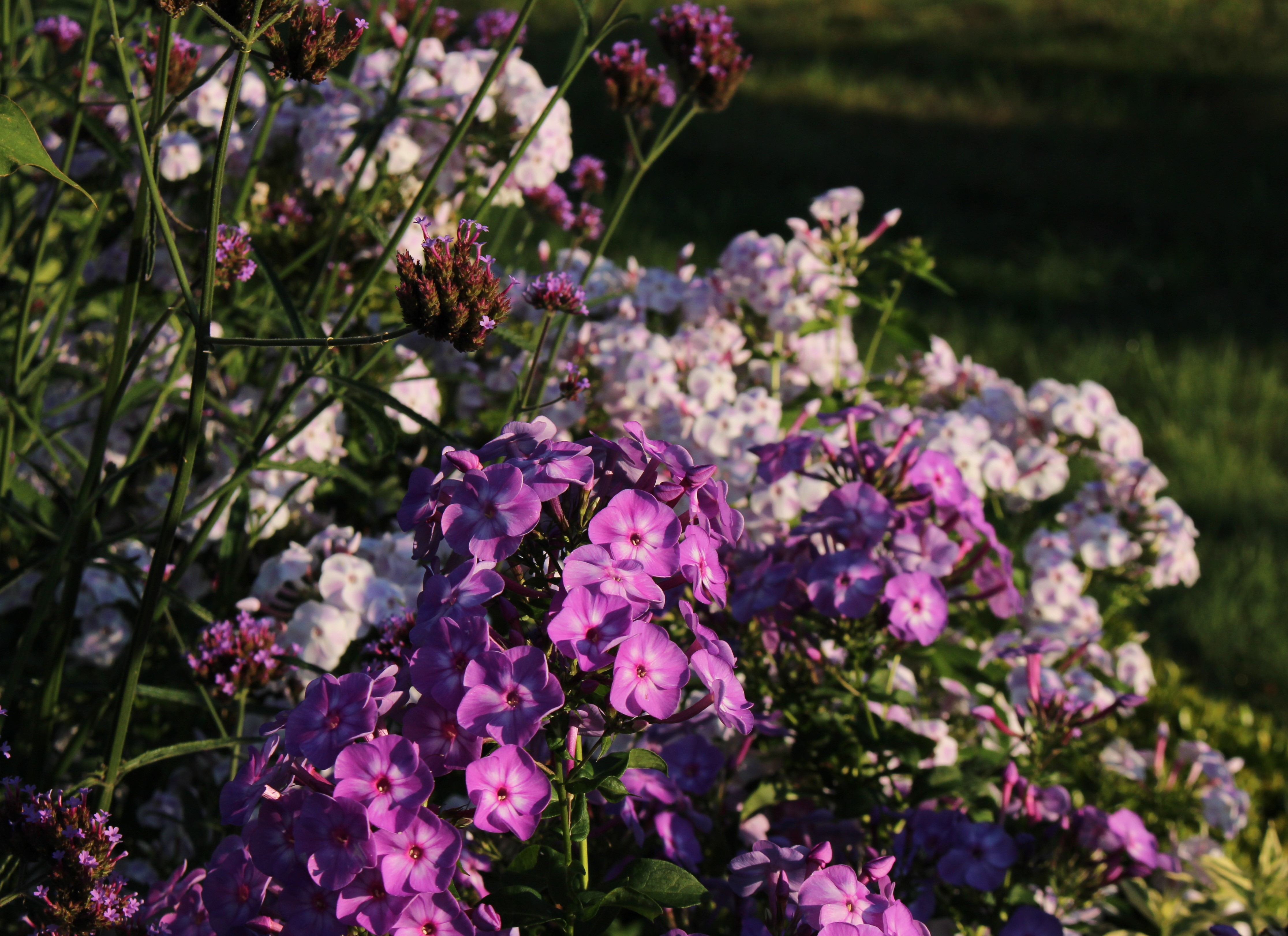 phlox sorta tall img garden suburbia seedlings like tag