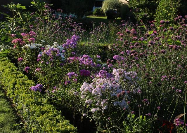 garden phlox paniculata