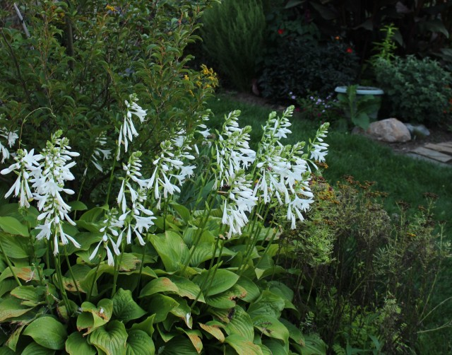 hosta royal standard